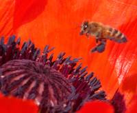 Honey Bee Hovering
