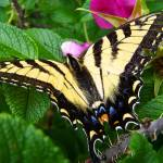 """Resting Swallowtail Butterfly"" by crazysuncompany"