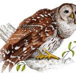 """Barred Owl"" by inkart"