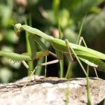 """Praying Mantis"" by travelpicspro"