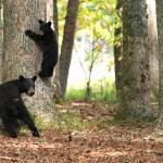 """Black Bear and Cub"" by jones3006"