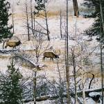 """""""Elk on the Mountain"""" by jones3006"""