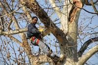 047 pruning Sycamore