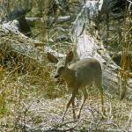 """""""Arizona Deer"""" by kphotos"""