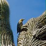 """Arizona woodpecker bird cactus 12 (c)SMK"" by kphotos"