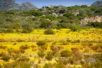 Wild flowers of the Cederberg