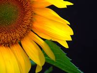 Peeking Sunflower