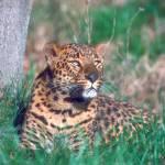 """""""Endangerd Leopard"""" by ArtLoversOnline"""