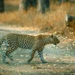 """Endangered Leopard"" by ArtLoversOnline"