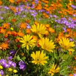 """The wild flower biodiversity of Namaqualand"" by Martin_Heigan"