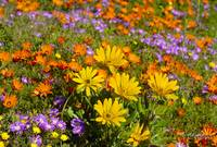 The wild flower biodiversity of Namaqualand