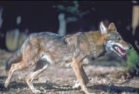 Endangered Red Wolf