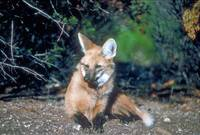 Endangered Maned Wolf