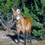 """Endangered Maned Wolf"" by ArtLoversOnline"