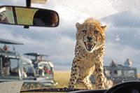 There's a cheetah on my bonnet