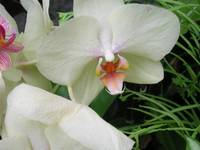 WHITEORCHID (2)