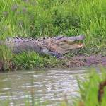 """Large Alligator"" by jones3006"