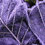 """Frosted Leaves"" by aubreyguynn"