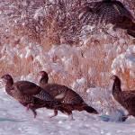 """""""Wild Turkeys"""" by aubreyguynn"""