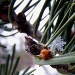 """""""Snowflake In a Pine"""" by aubreyguynn"""
