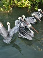 Florida Keys Pelicans