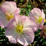 """Mexican Evening Primrose"" by kphotos"