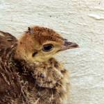 """""""Peachick"""" by theChipmunk"""