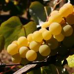 """""""Basking Grapes"""" by allenmorrisphoto"""