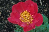 Red Peony Japonica
