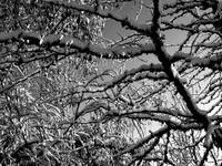 Snow on Limbs