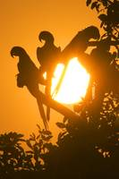 Hyacinth macaws at sundown