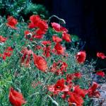 """Poppies Verona"" by DickGoodman"