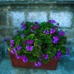 """Flower Well Rhodes"" by BillDaley"