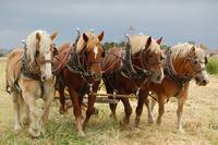 Plow Horses working