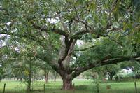 Ancient Pecan Tree