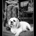 """""""Small Dog and Woman in Wheelchair"""" by DerekAudette"""