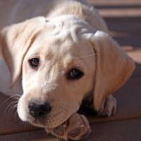"""Yellow Lab Puppy  perplexed"" by Isaac Oshima"