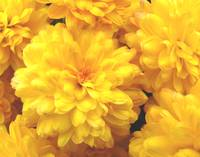 yellowflowers1