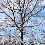 """Snow covered branches"" by digitalvisions"