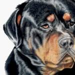 """""""Rottweiler - Bart"""" by kwesch"""