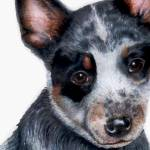 """Australian Cattle Dog Puppy - Foster"" by kwesch"