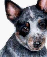 Australian Cattle Dog Puppy - Foster
