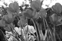 Tulips in Gray