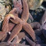 """Sea Star Convention"" by RCdeWinter"