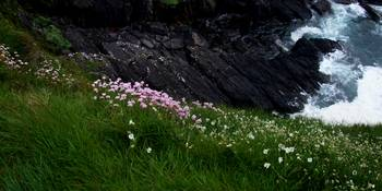 Flowers at the Cliffs of Moher