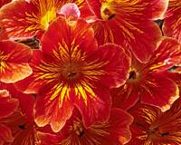 Red Salpiglossis Garden Flower