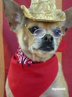 Timmy the Chihuahua Goes Western