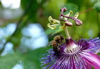 Bee on a Passion Flower