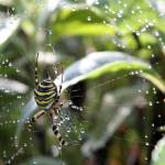 """Wasp Spider"" by ljpixie75"