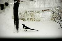 magpie in snow by tree photo card.c2008.TRForsman